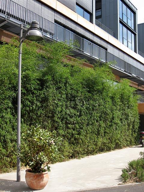 phyllostachys bissetii kaufen im bambus shop bambusheckende