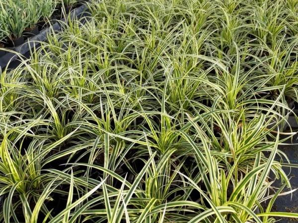 Carex foliosissima 'Vanilla Ice'