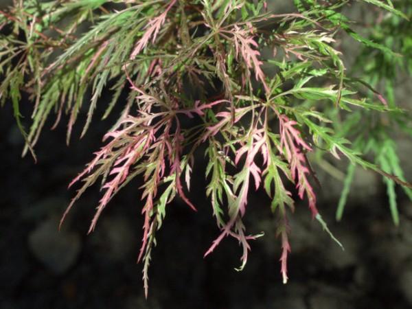 Acer palmatum dissectum 'Hana Matoi'