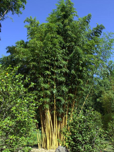 phyllostachys vivax 39 aureocaulis 39 kaufen im bambus shop. Black Bedroom Furniture Sets. Home Design Ideas