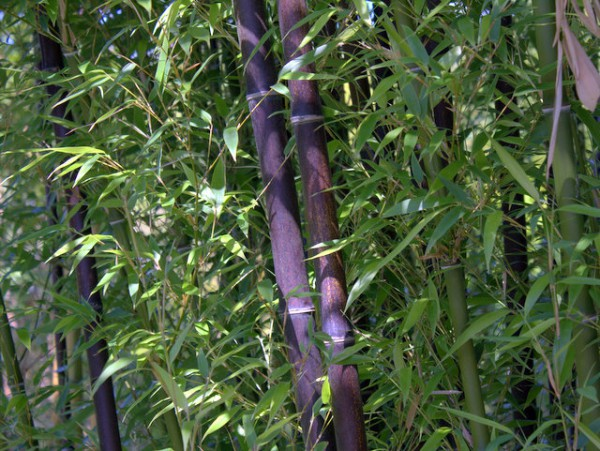 Phyllostachys nigra - Schwarzer Bambus