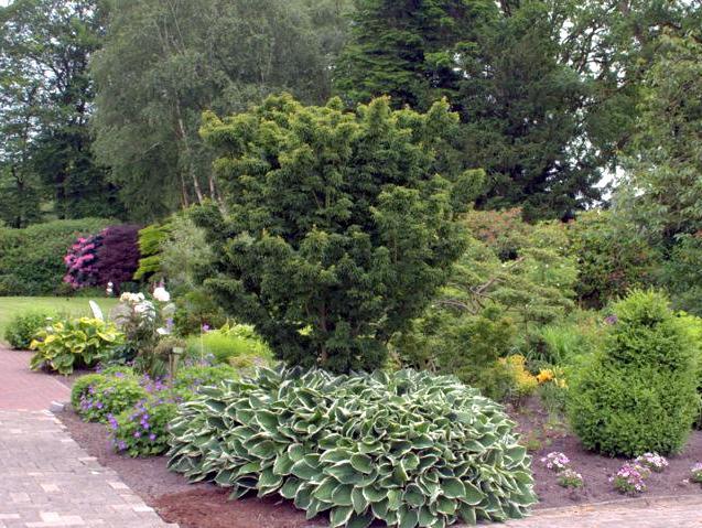 faecherahorn acer palmatum shishigashira