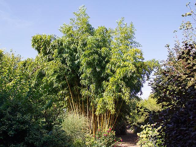 bambuspflanzen kaufen aber welche bambusb rse. Black Bedroom Furniture Sets. Home Design Ideas
