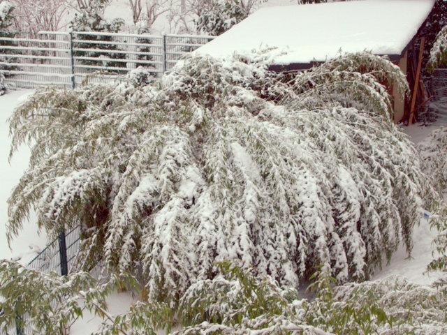 Winterschutz Ist Bambus Winterhart Bambushecken De