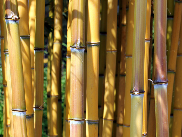 phyllostachys online kaufen im bambus shop. Black Bedroom Furniture Sets. Home Design Ideas