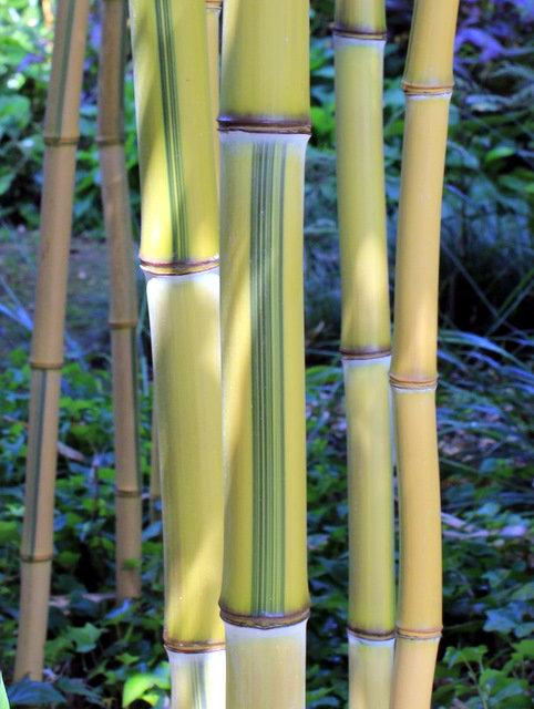 hohe bambushecken von 6 m. Black Bedroom Furniture Sets. Home Design Ideas