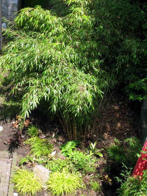 fargesia robusta 39 wolong 39 kaufen im bambus shop. Black Bedroom Furniture Sets. Home Design Ideas