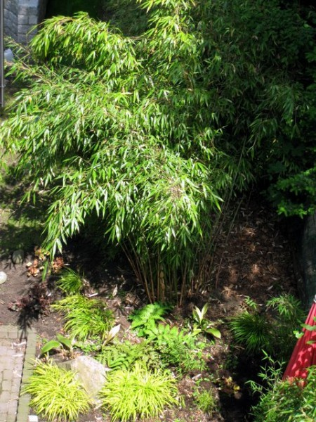 Fargesia robusta 'Wolong'1