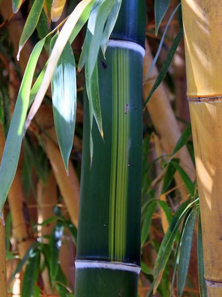 Phyllostachys vivax 'Huanwenzhu'